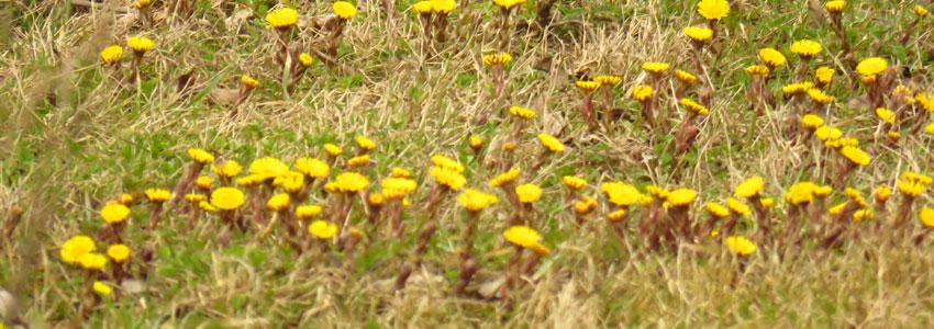 NEJ. Tussilago är en härlig blomma men kommer inte ge dig en dejt.