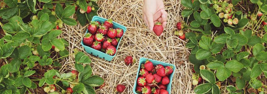 1. Plocka jordgubbar. Åk ut till ett ställe som erbjuder självplock av jordgubbar. Njuta av solen, landet och din dejt. Åk sedan hem tillsammans och gör jordgubbssaft eller en smarrig dessert av jordgubbarna. Det kommer bli supermysigt!